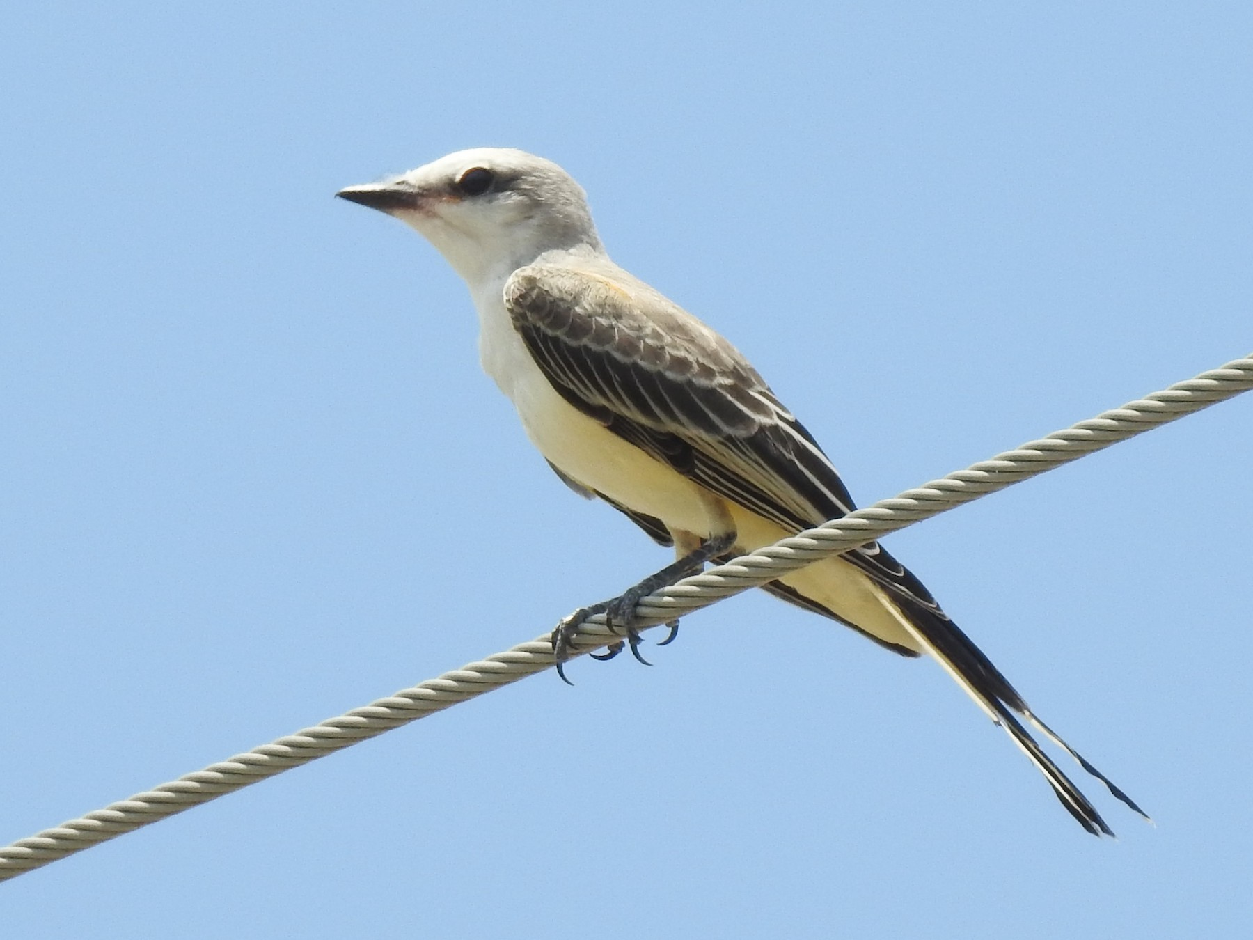 Scissor-tailed Flycatcher - Chris Davis