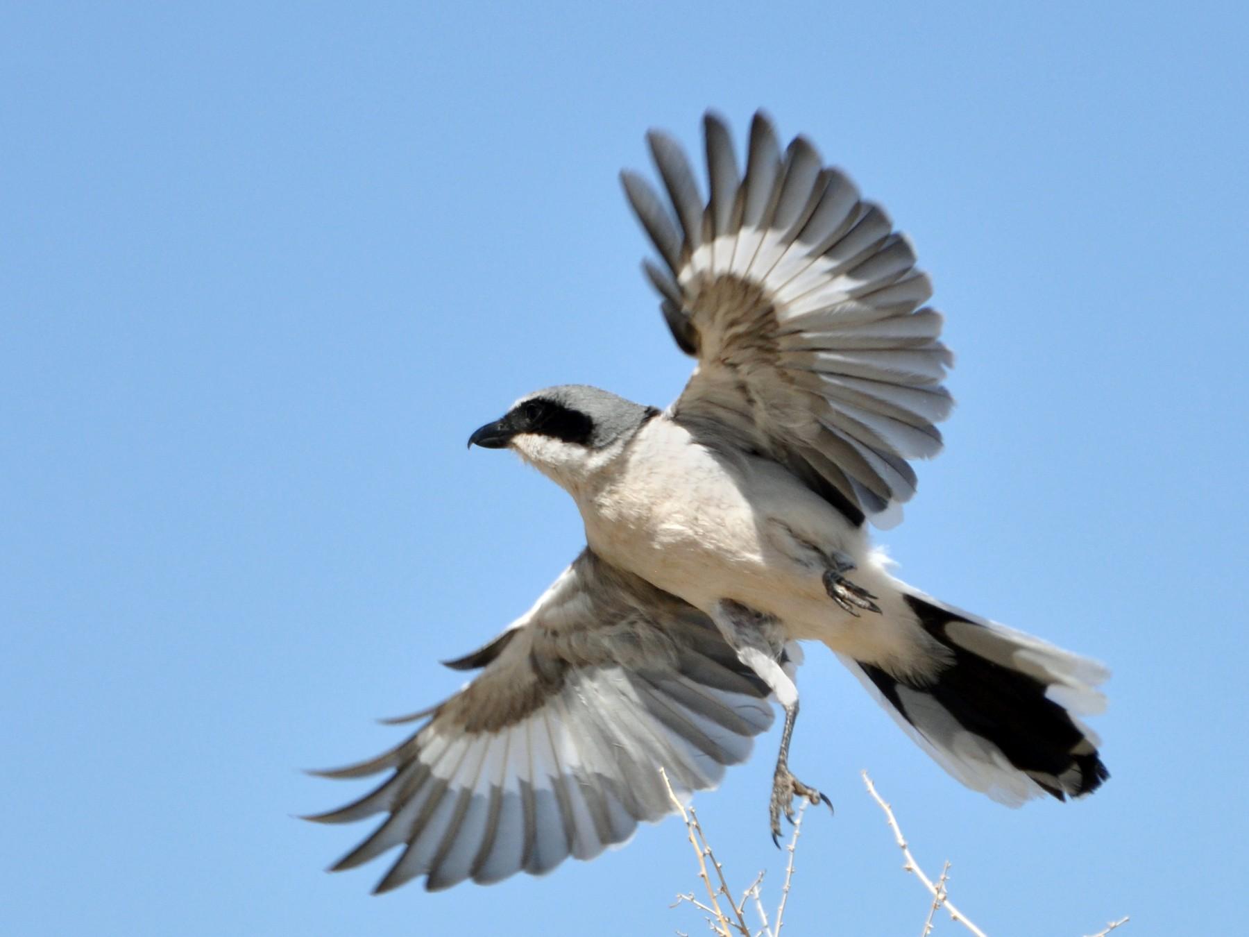 Loggerhead Shrike - Aaron Marshall