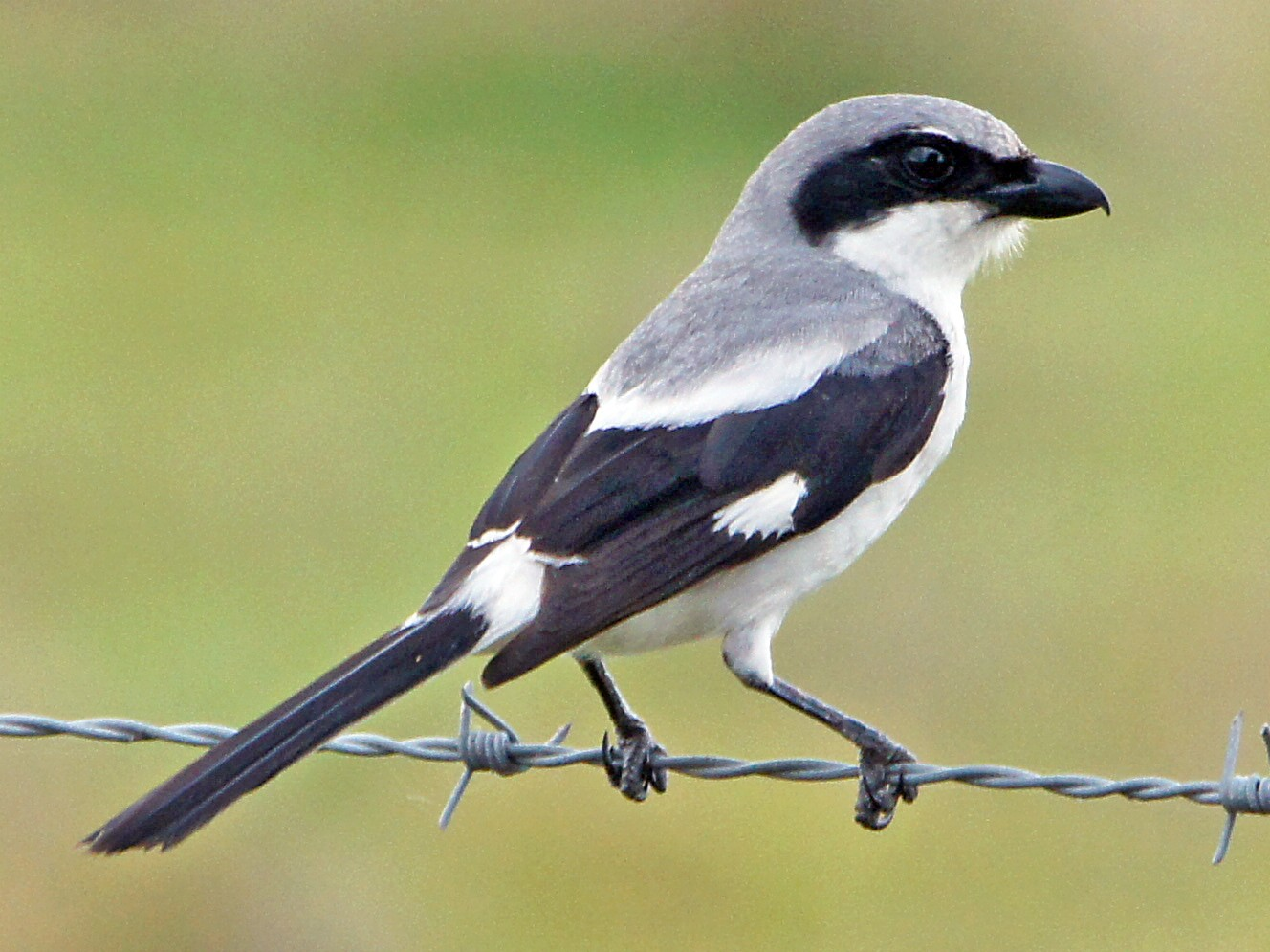 Loggerhead Shrike - Michael Smith
