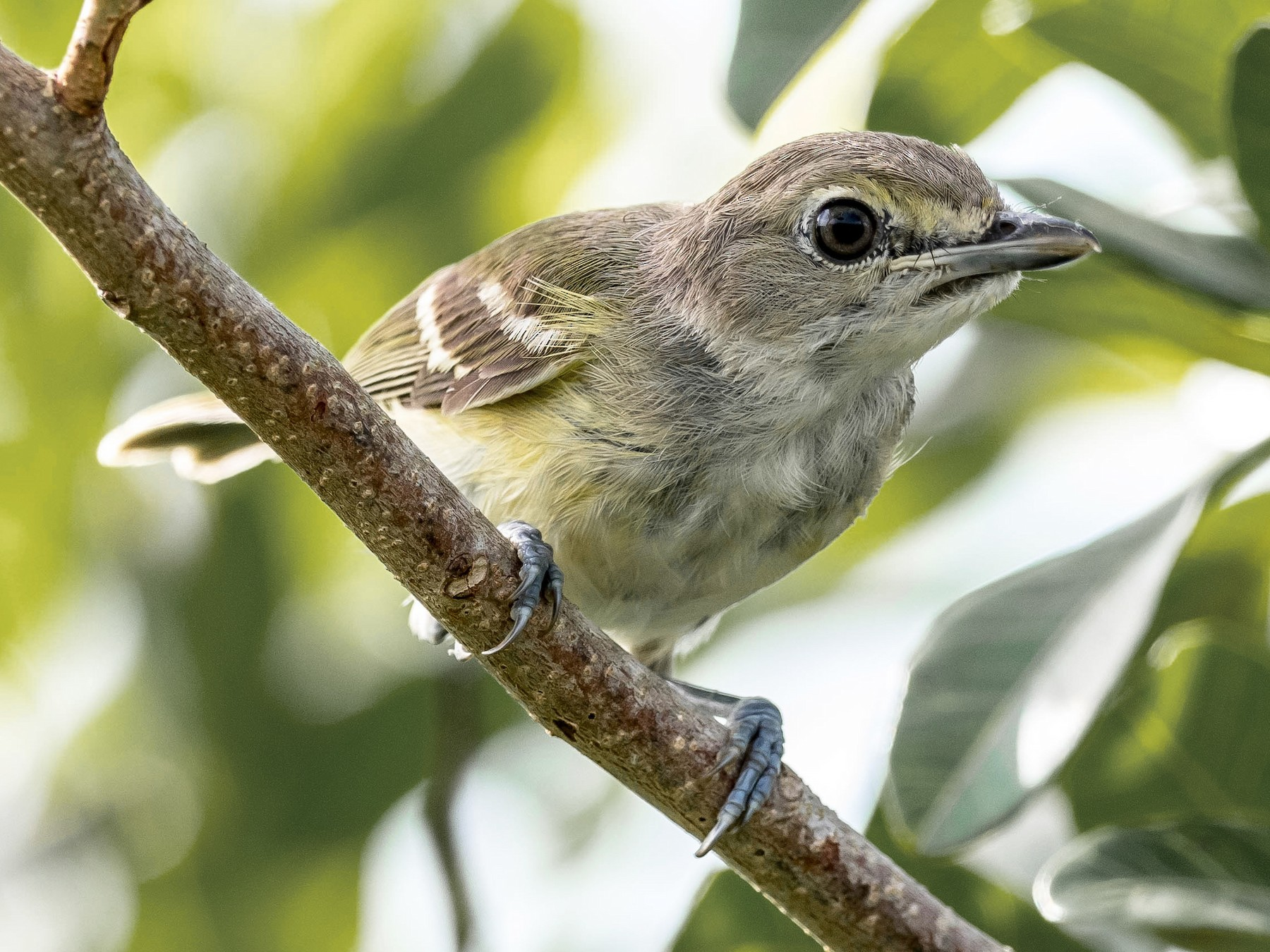 White-eyed Vireo - David Hall