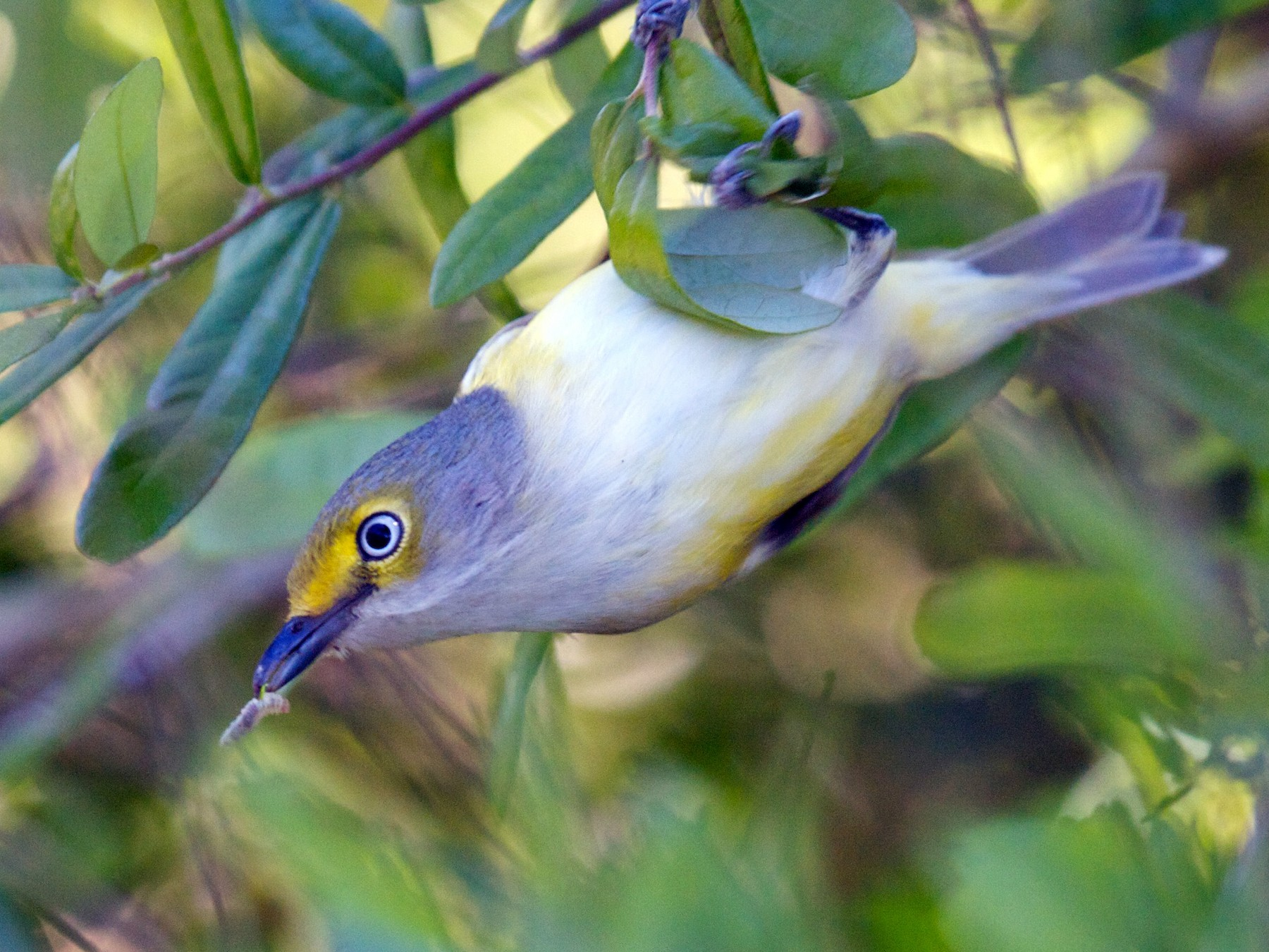 White-eyed Vireo - Matt Brady