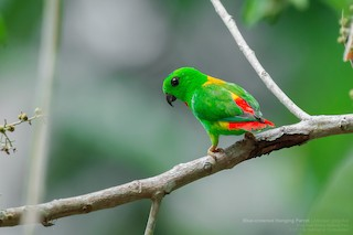 - Blue-crowned Hanging-Parrot