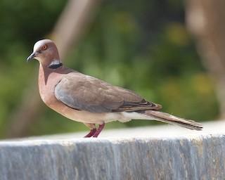 - Island Collared-Dove