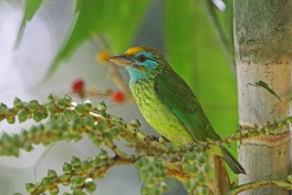 - Yellow-fronted Barbet