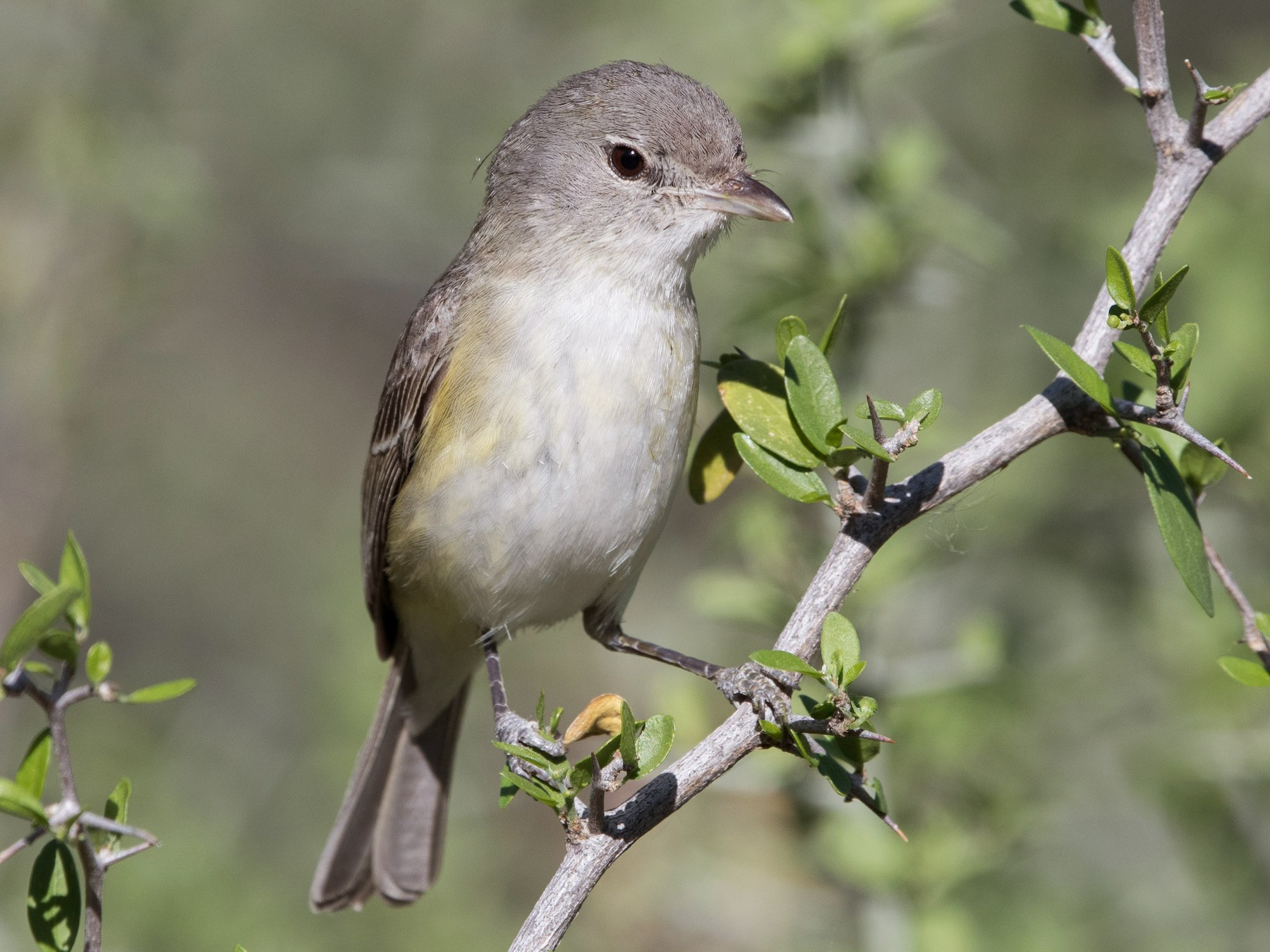 Bell's Vireo - William Higgins