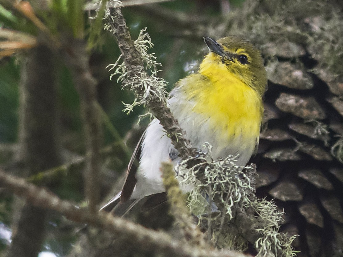 Yellow-throated Vireo - Jerry Ting