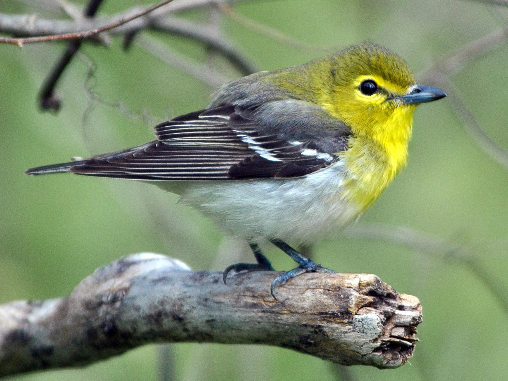 Yellow-throated Vireo - Adam Capparelli