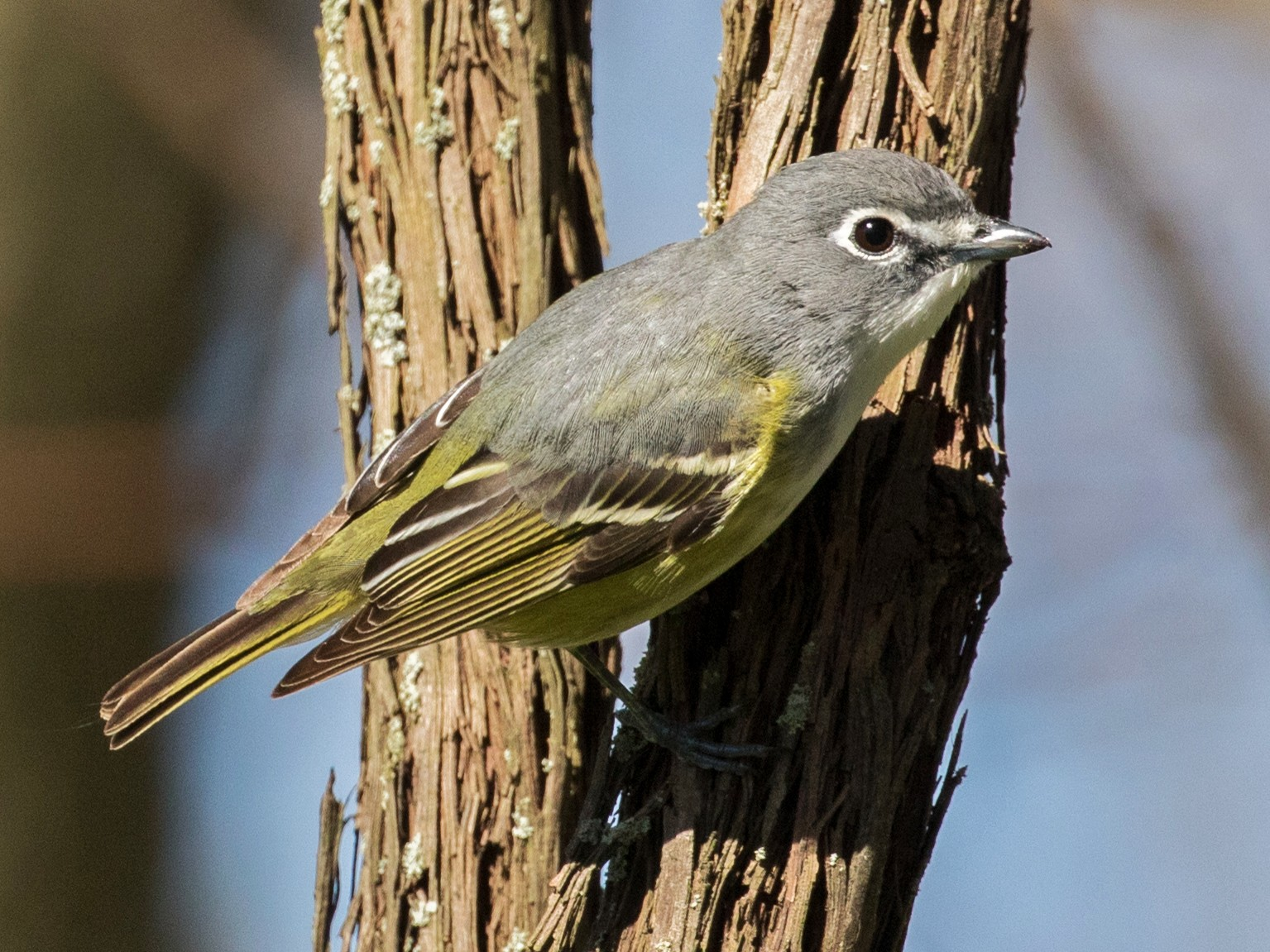 Blue-headed Vireo - Ian Burgess