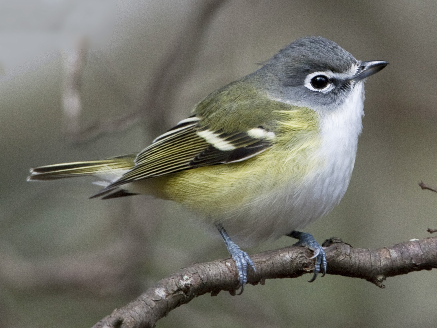 Blue-headed Vireo - Brian Sullivan
