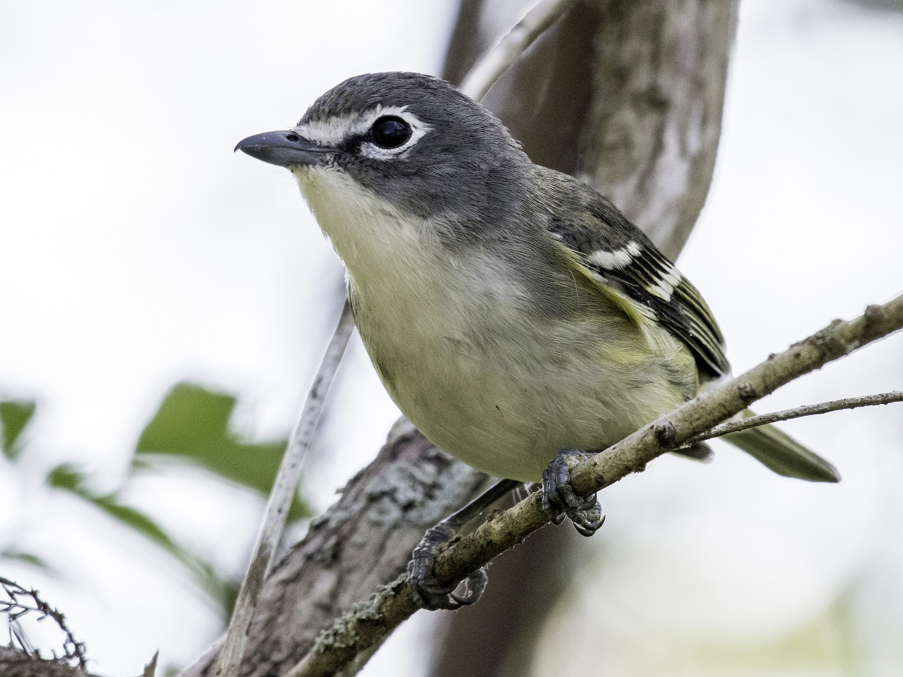 Blue-headed Vireo - David Hall