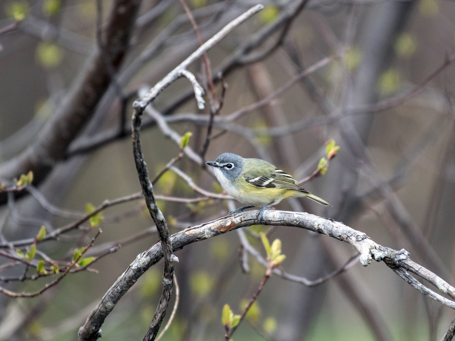 Blue-headed Vireo - Simon Boivin