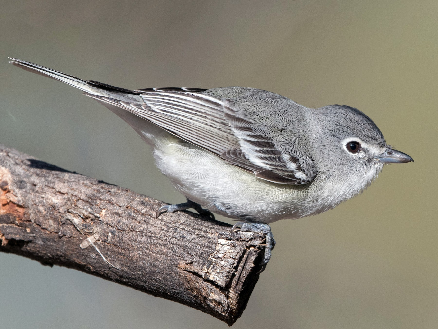 Plumbeous Vireo - William Higgins