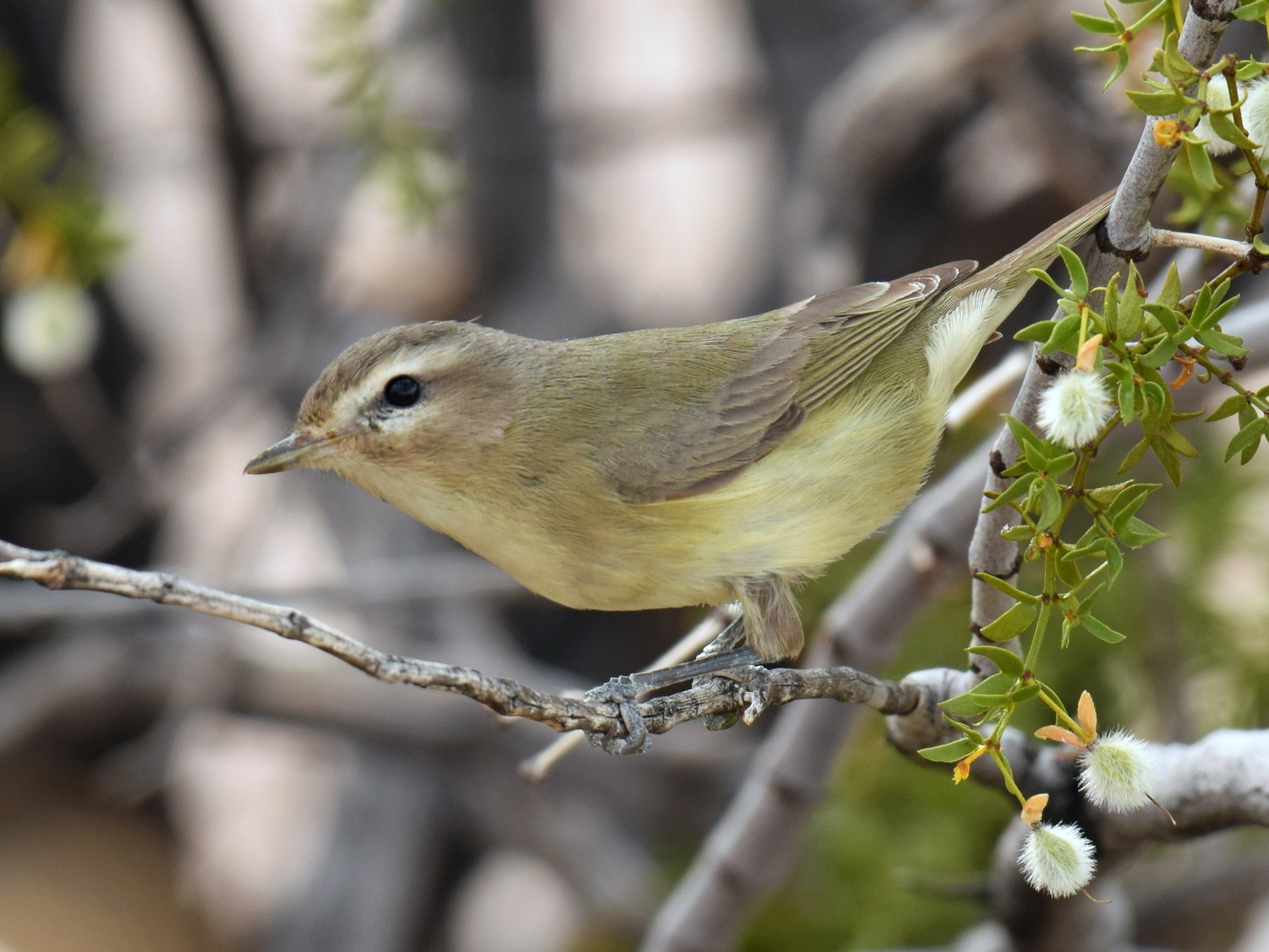 Warbling Vireo - Ryan O'Donnell