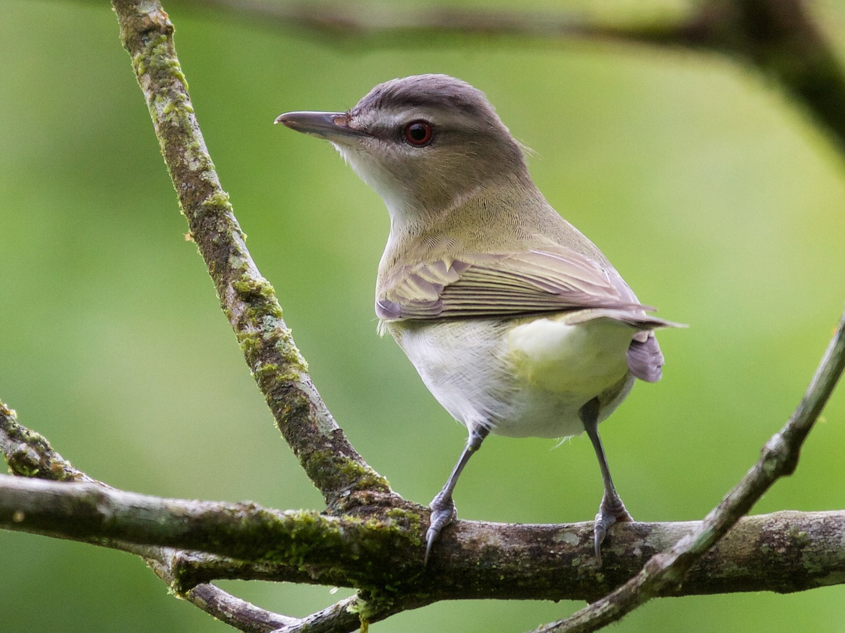 Red-eyed Vireo - Matt Brady
