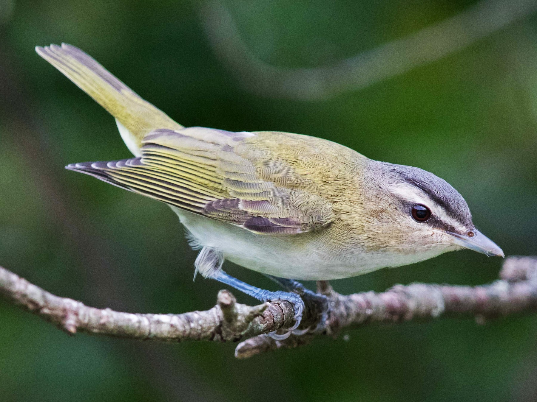 Red-eyed Vireo - Jim Hully