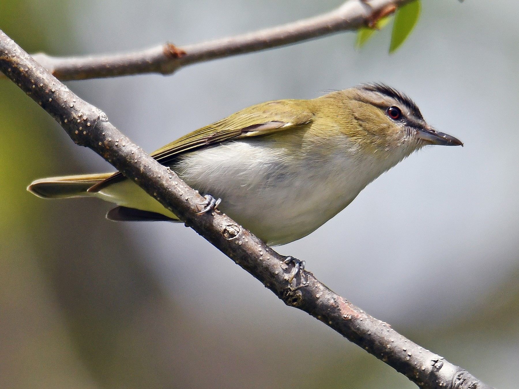 Red-eyed Vireo - André Lanouette