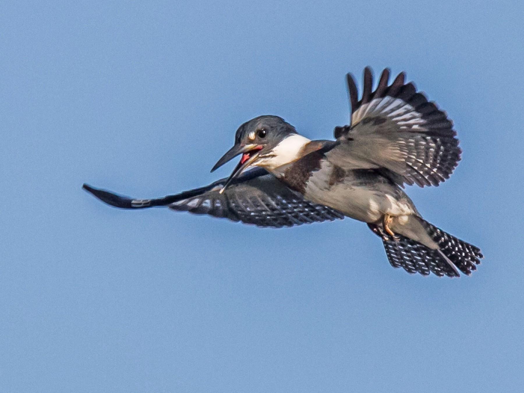 Belted Kingfisher - Ed Wransky