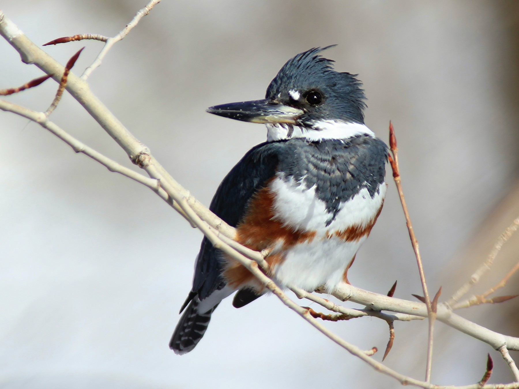 Belted Kingfisher - Matthew Pendleton