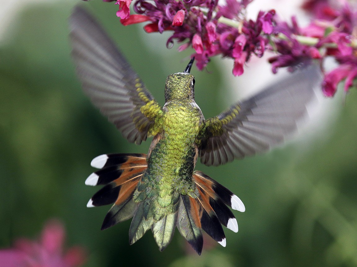 Broad-tailed Hummingbird - Bill Maynard