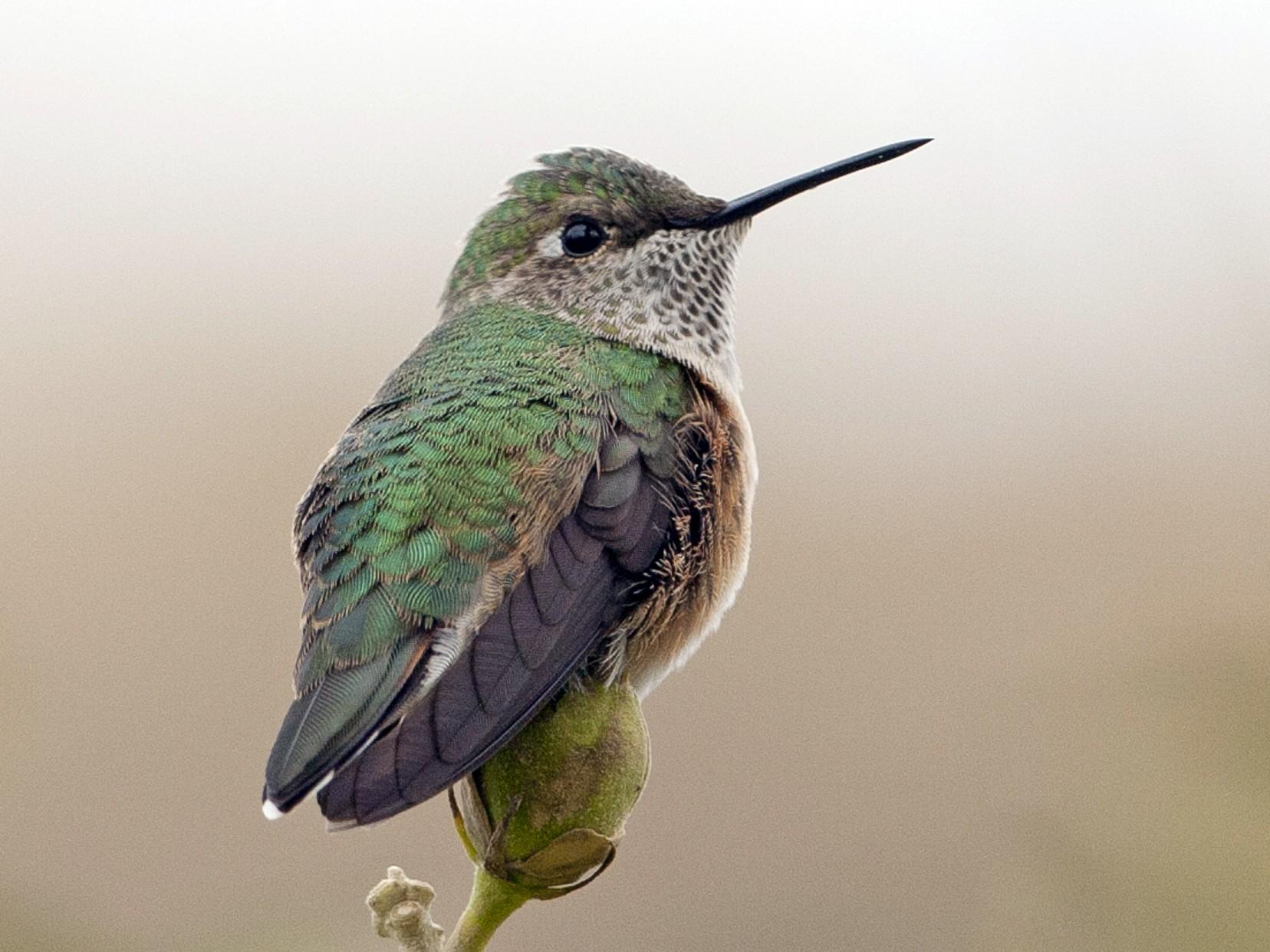 Broad-tailed Hummingbird - Brian Sullivan