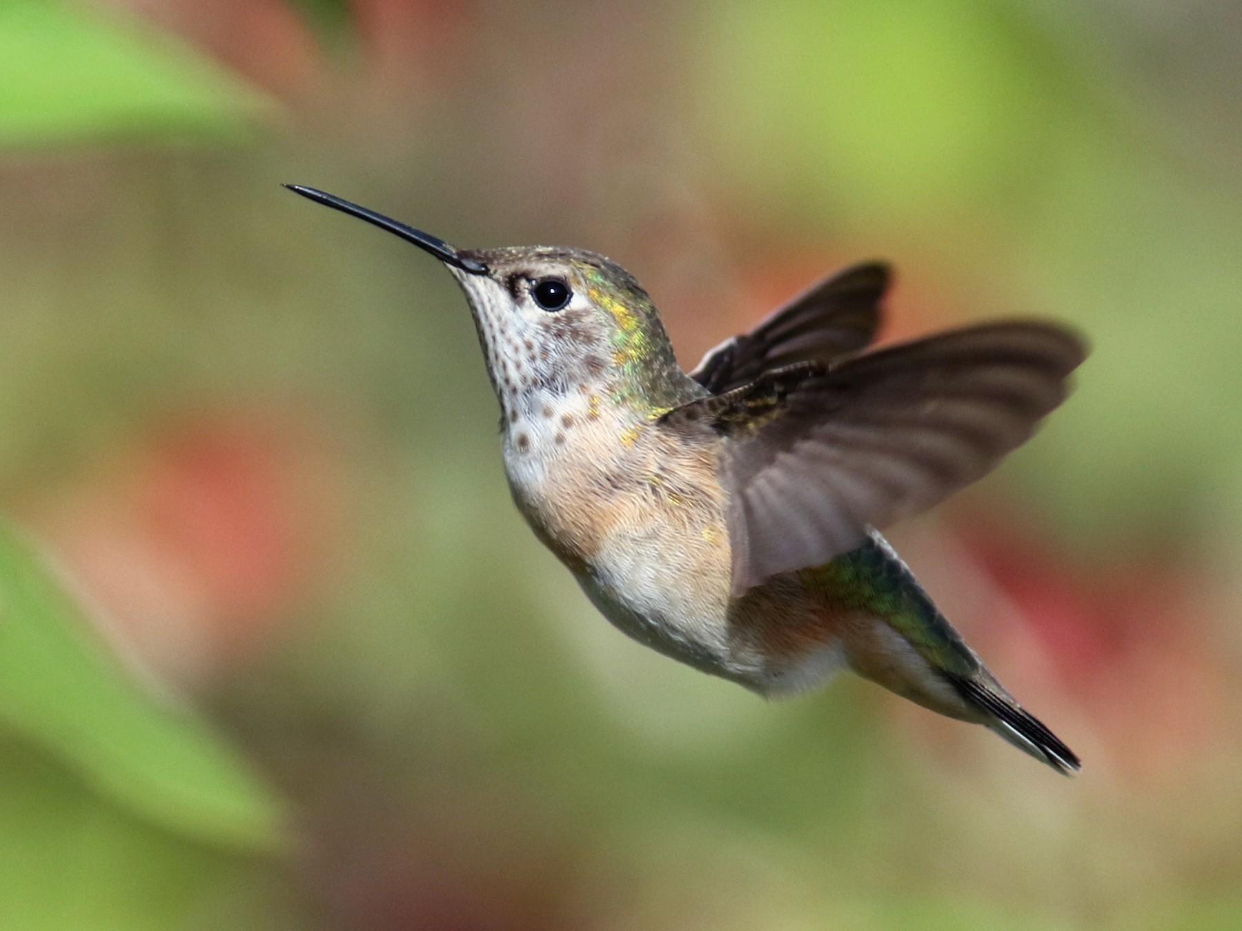 Calliope Hummingbird - Jesse Amesbury
