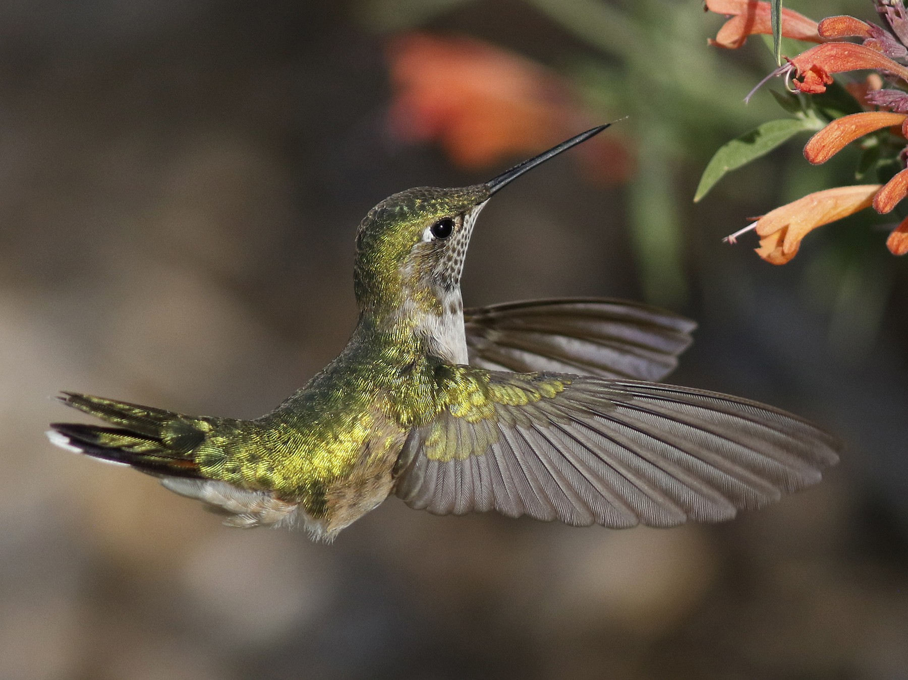 Calliope Hummingbird - Bill Maynard
