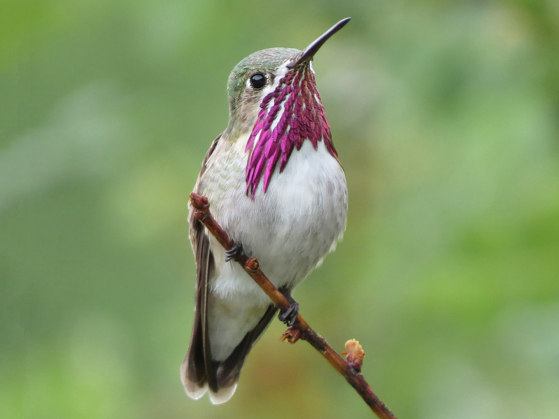 Calliope Hummingbird - Marya Moosman