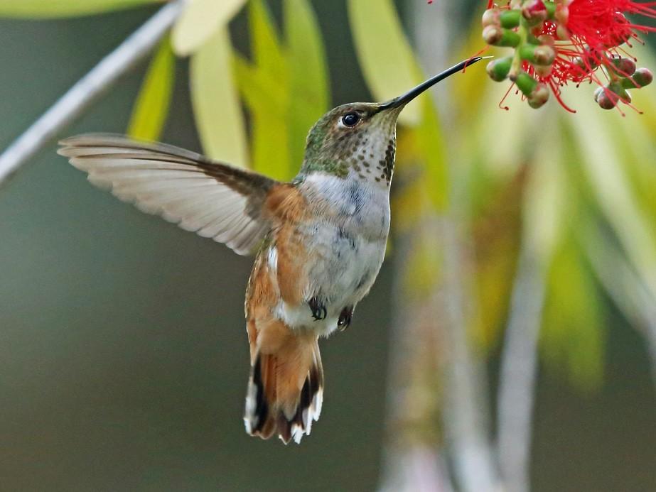 Allen's Hummingbird - Nigel Voaden