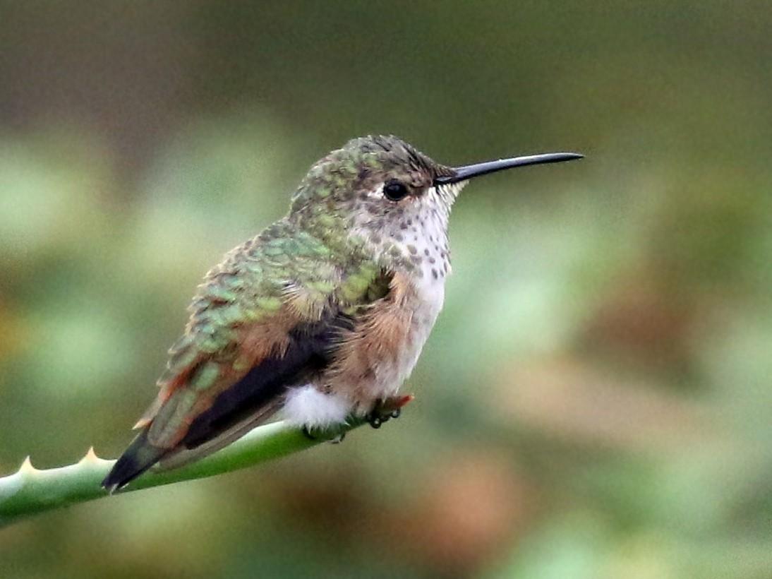 Allen's Hummingbird - Margaret Viens