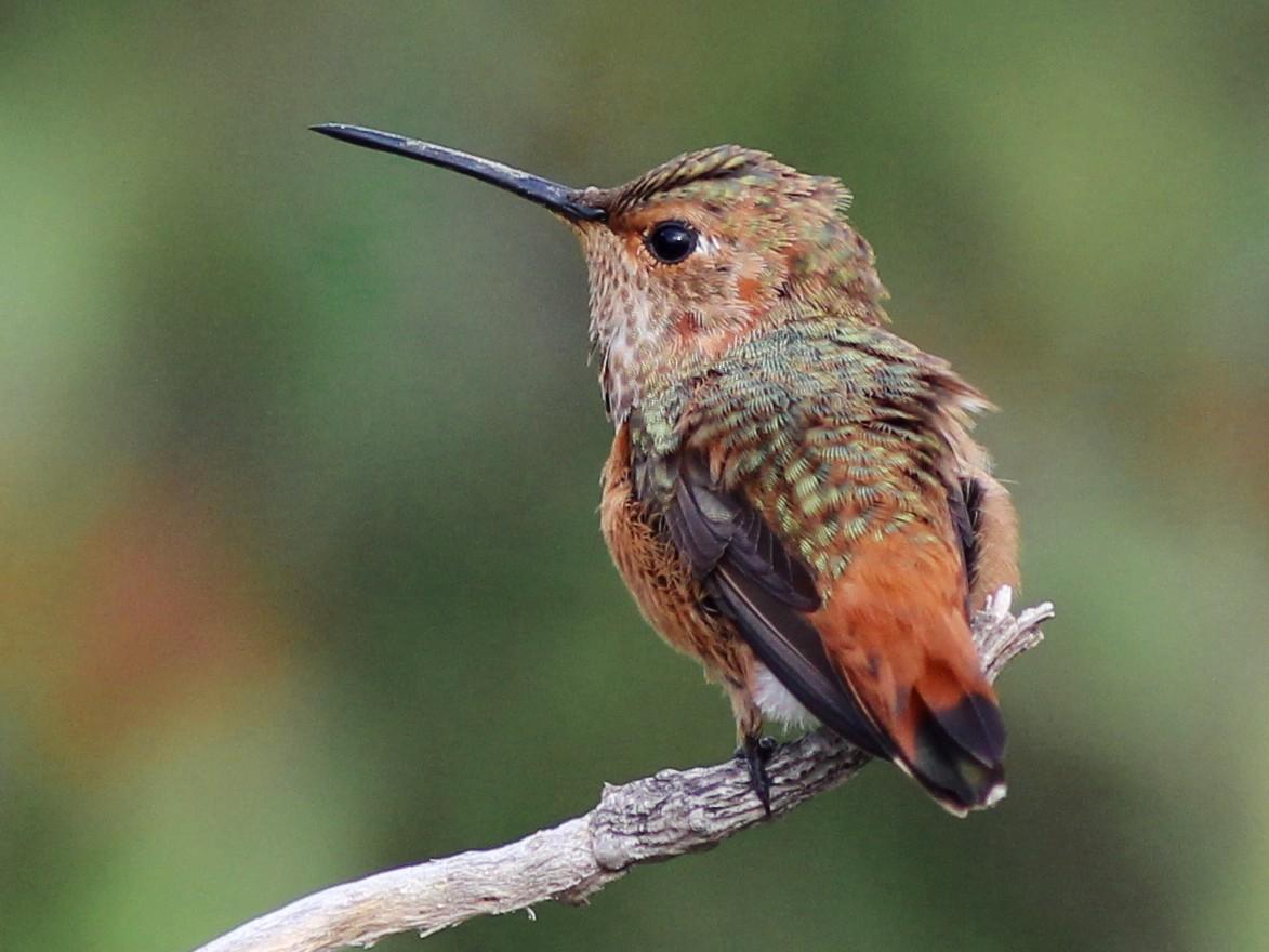 Allen's Hummingbird - Nicole Desnoyers