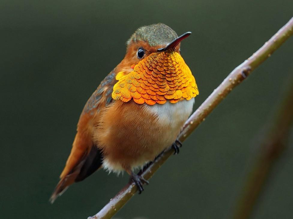 Allen's Hummingbird - Robert Hamilton