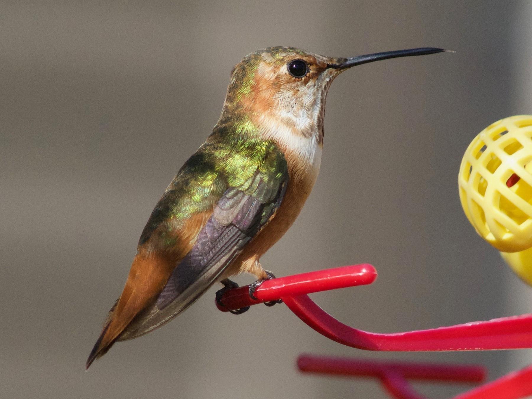 Allen's Hummingbird - Ellen Crotty