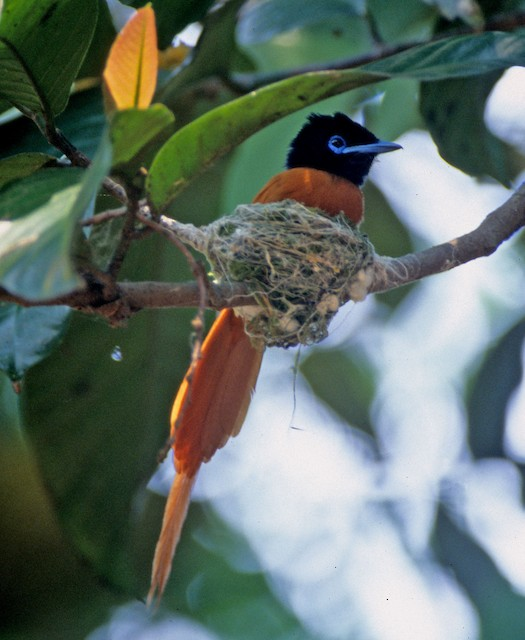 Black-headed Paradise-Flycatcher (Red-bellied)