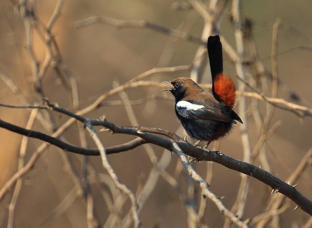 Indian Robin