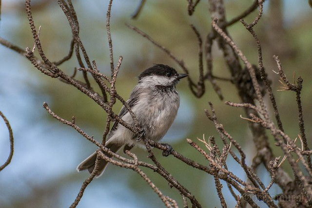 ©Brian Murphy - Black-capped Chickadee