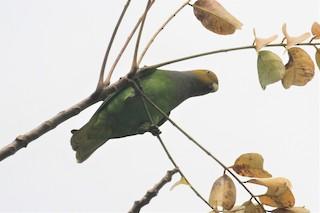 - Singing Parrot