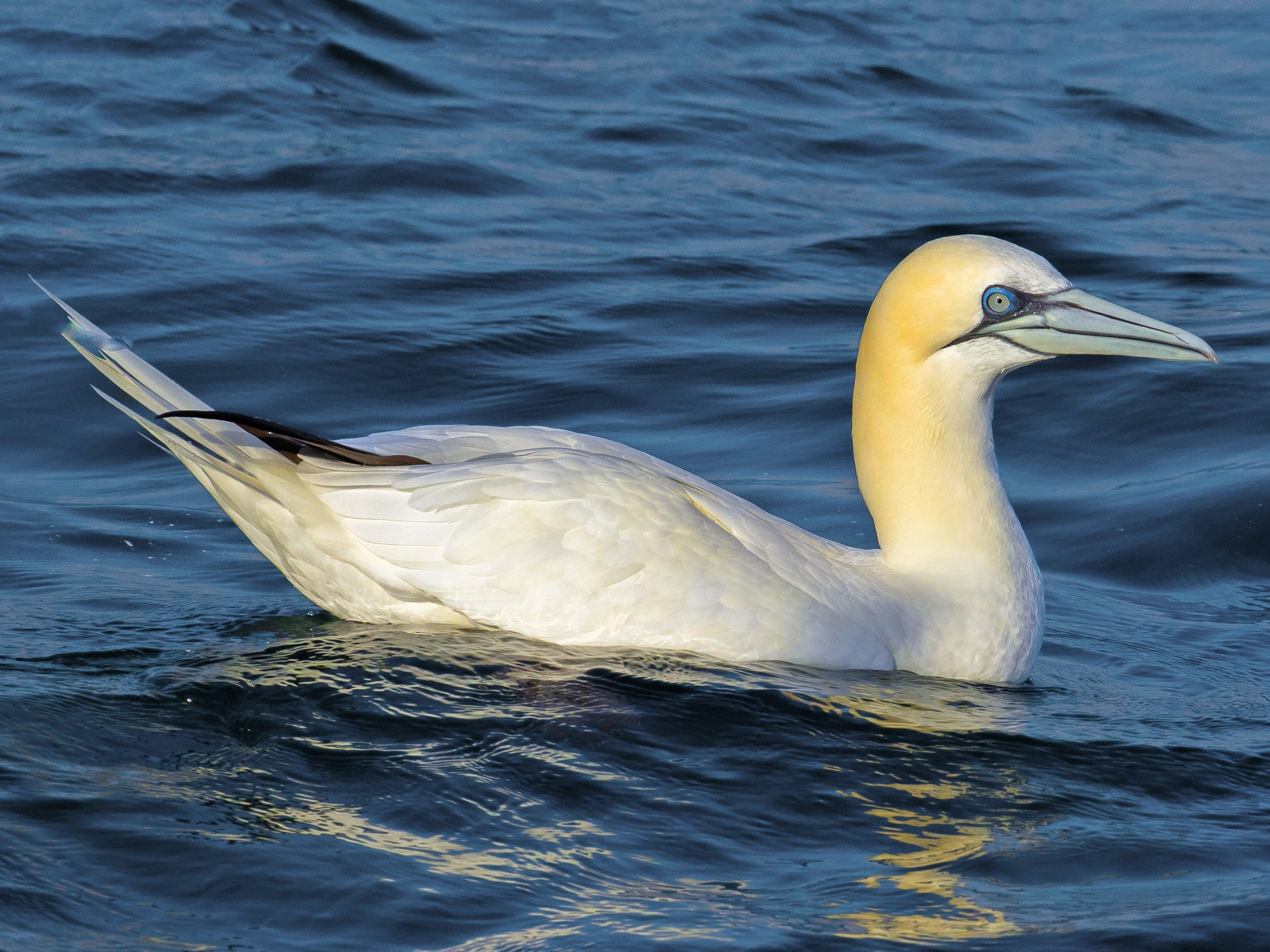 Northern Gannet - John Reynolds