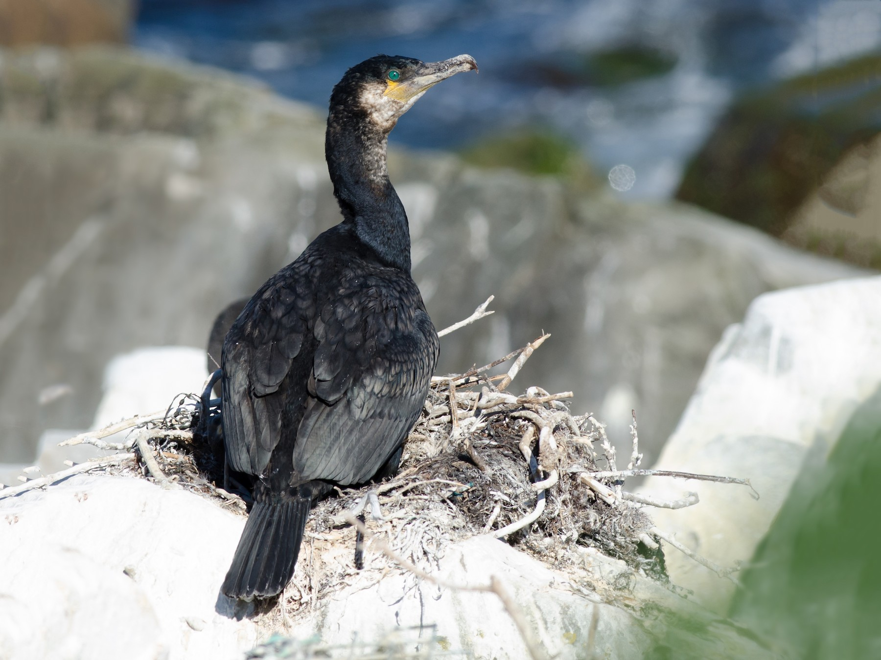 Great Cormorant - Alix d'Entremont