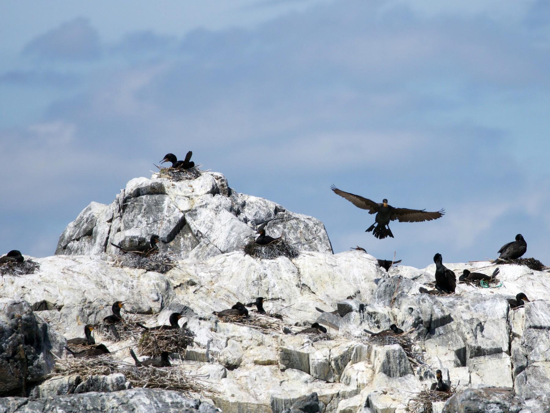 Double-crested Cormorant - Oscar Wilhelmy