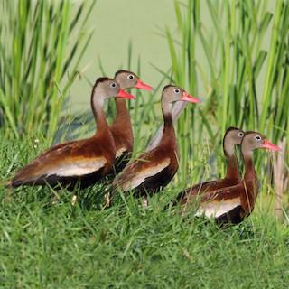 Black-bellied Whistling-Duck (fulgens)