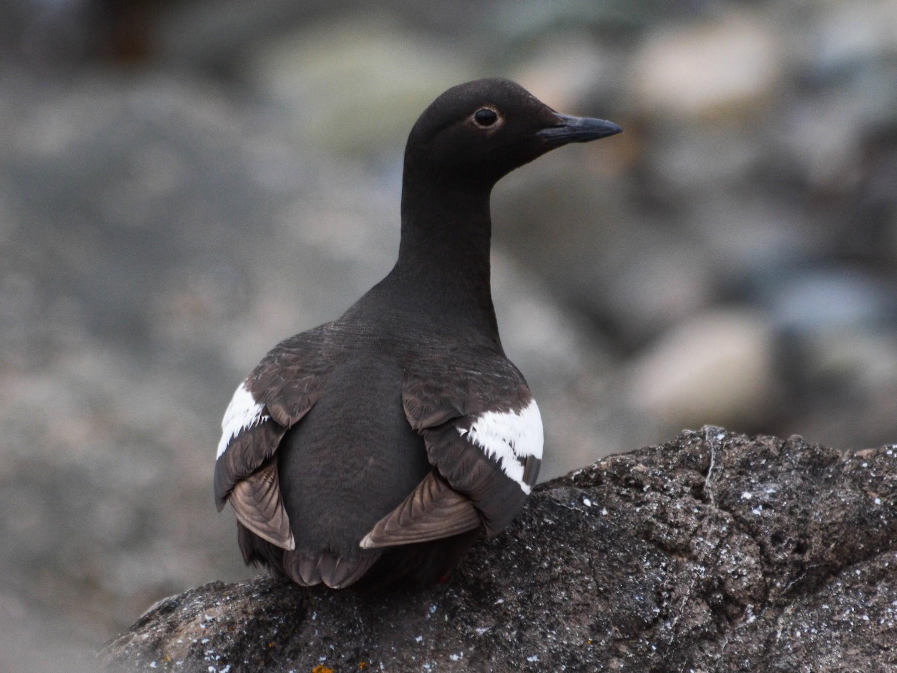 Pigeon Guillemot - Joshua Little