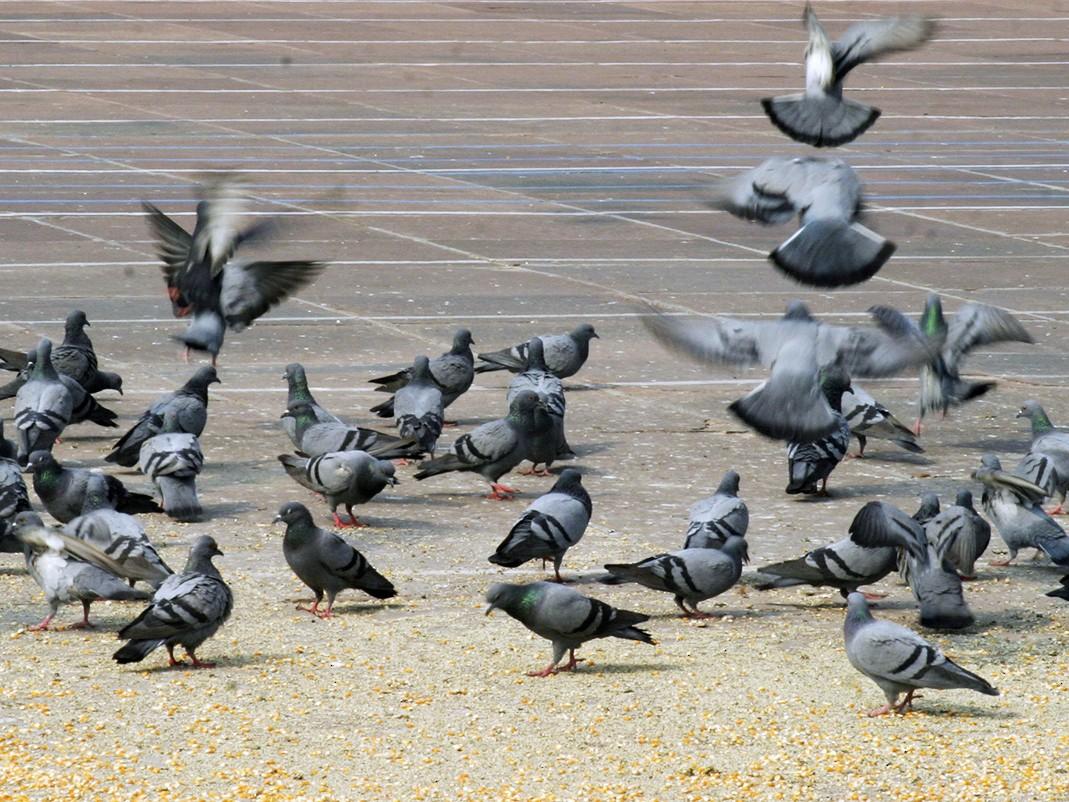 Rock Pigeon - Arlene Ripley