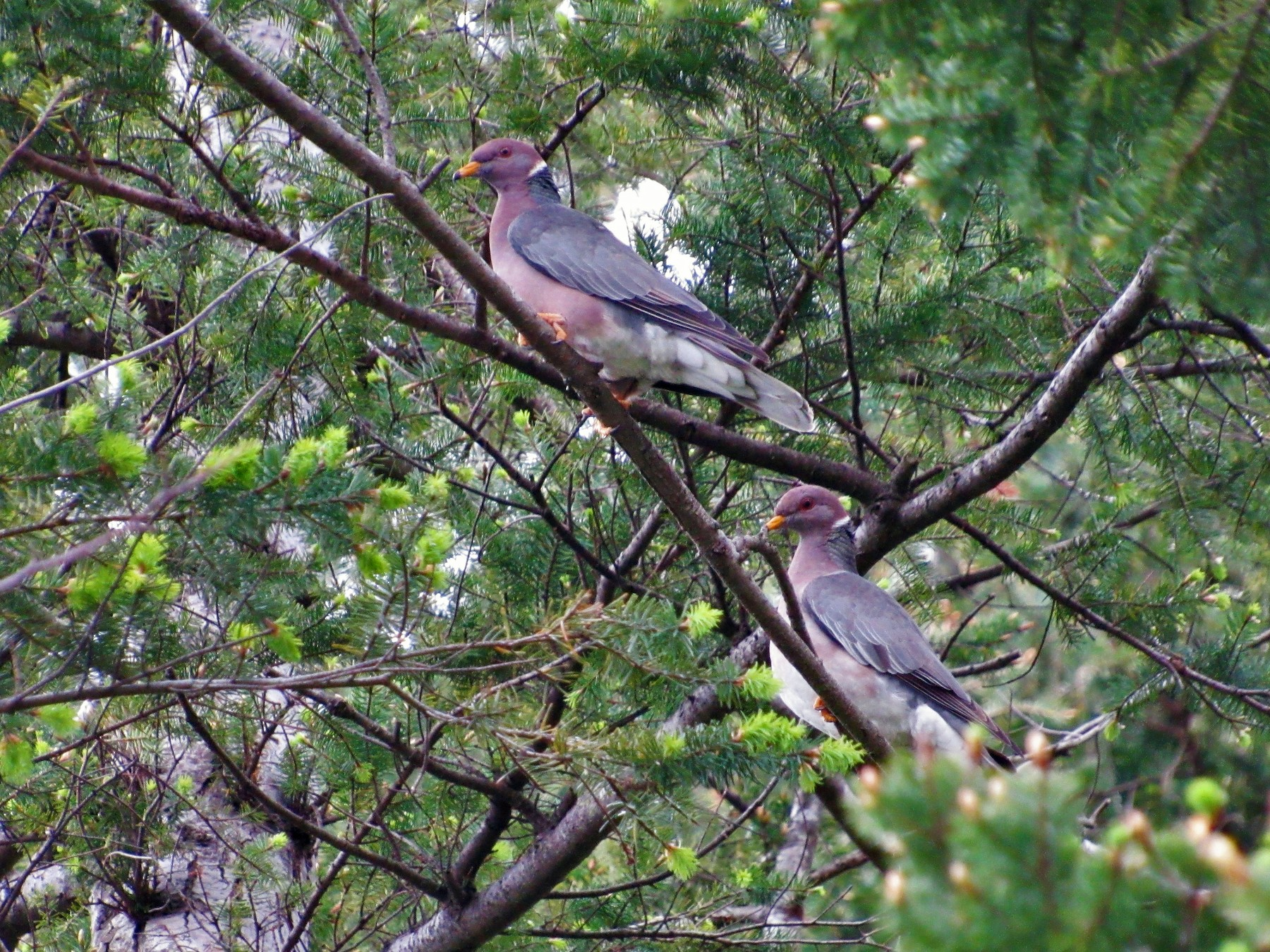 Band-tailed Pigeon - David Poortinga