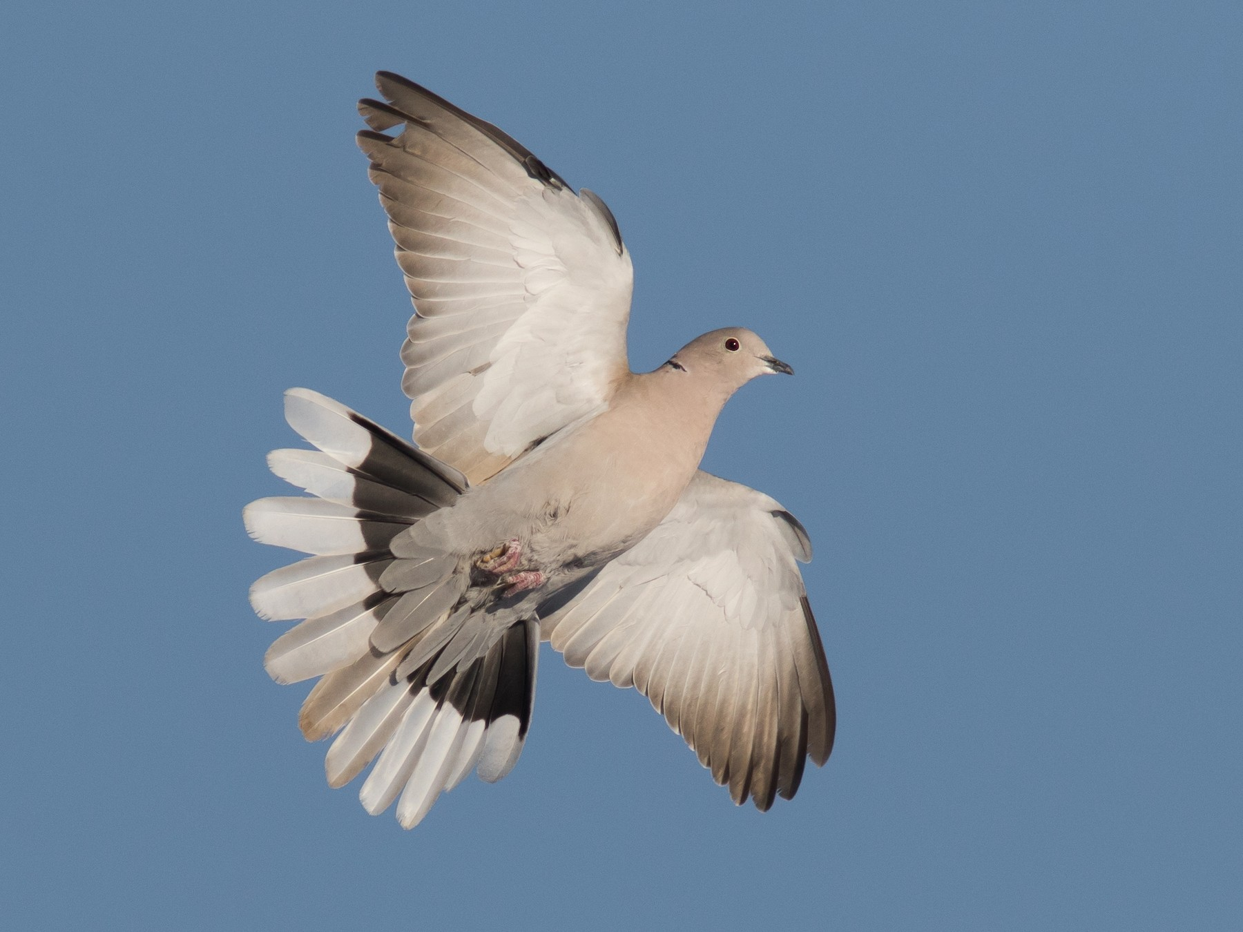 Eurasian Collared-Dove - Jesse Amesbury