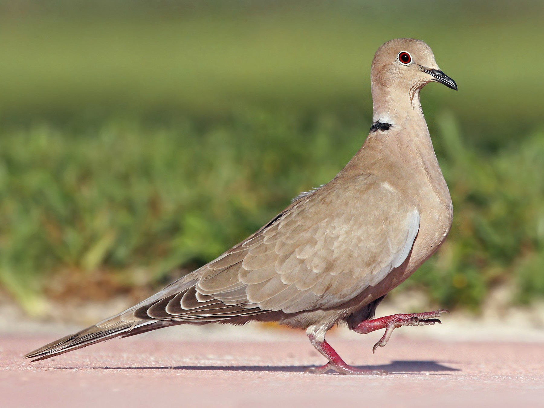 Eurasian Collared-Dove - Ryan Schain