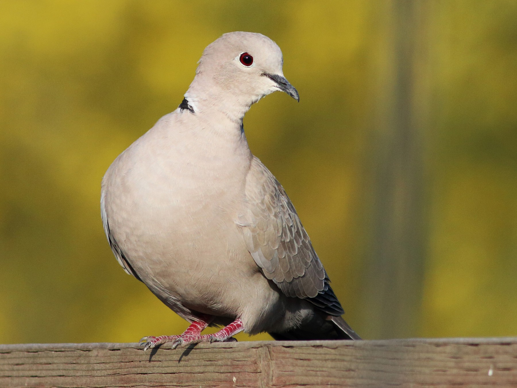 Eurasian Collared-Dove - Paul Fenwick