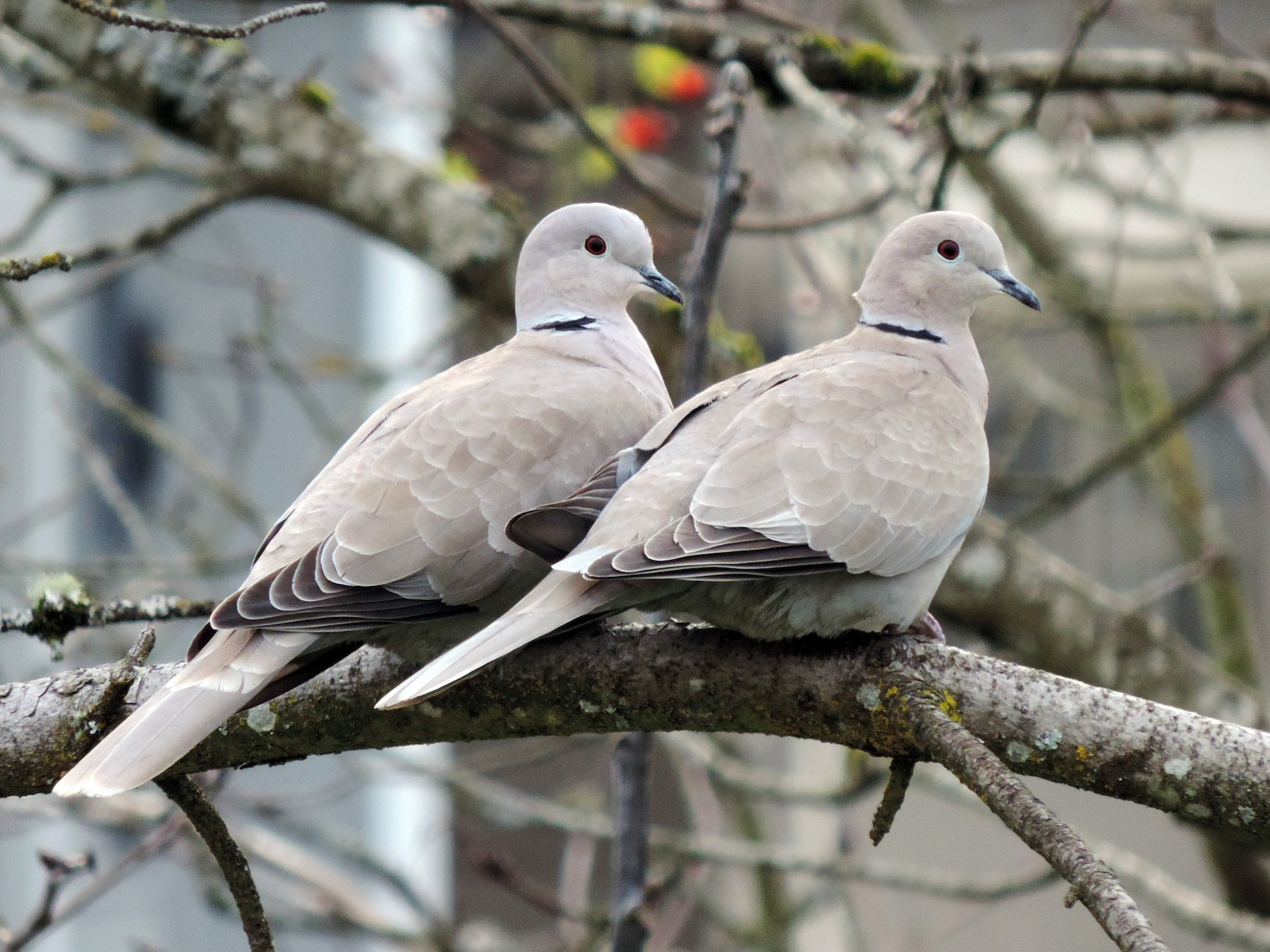 Eurasian Collared-Dove - Sylvia Maulding