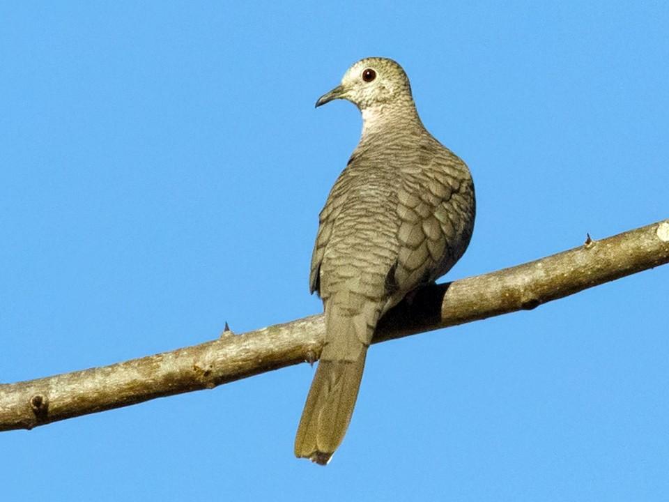 Inca Dove - Suzanne Labbé