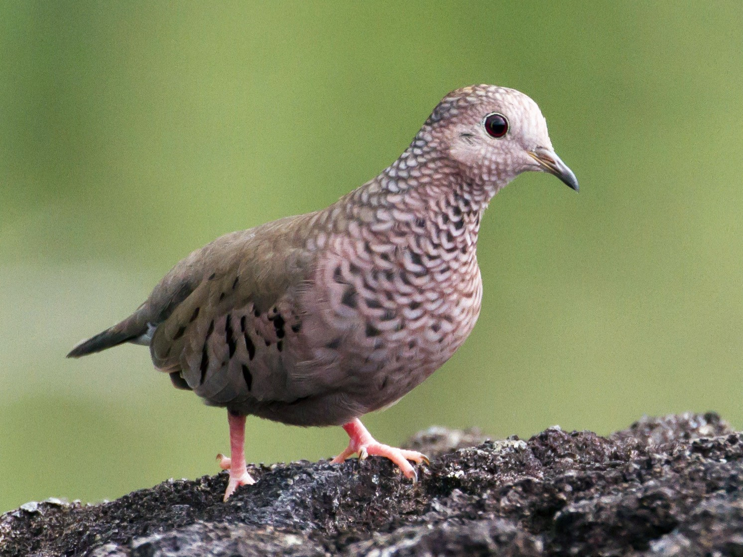 Common Ground Dove - Cullen Hanks