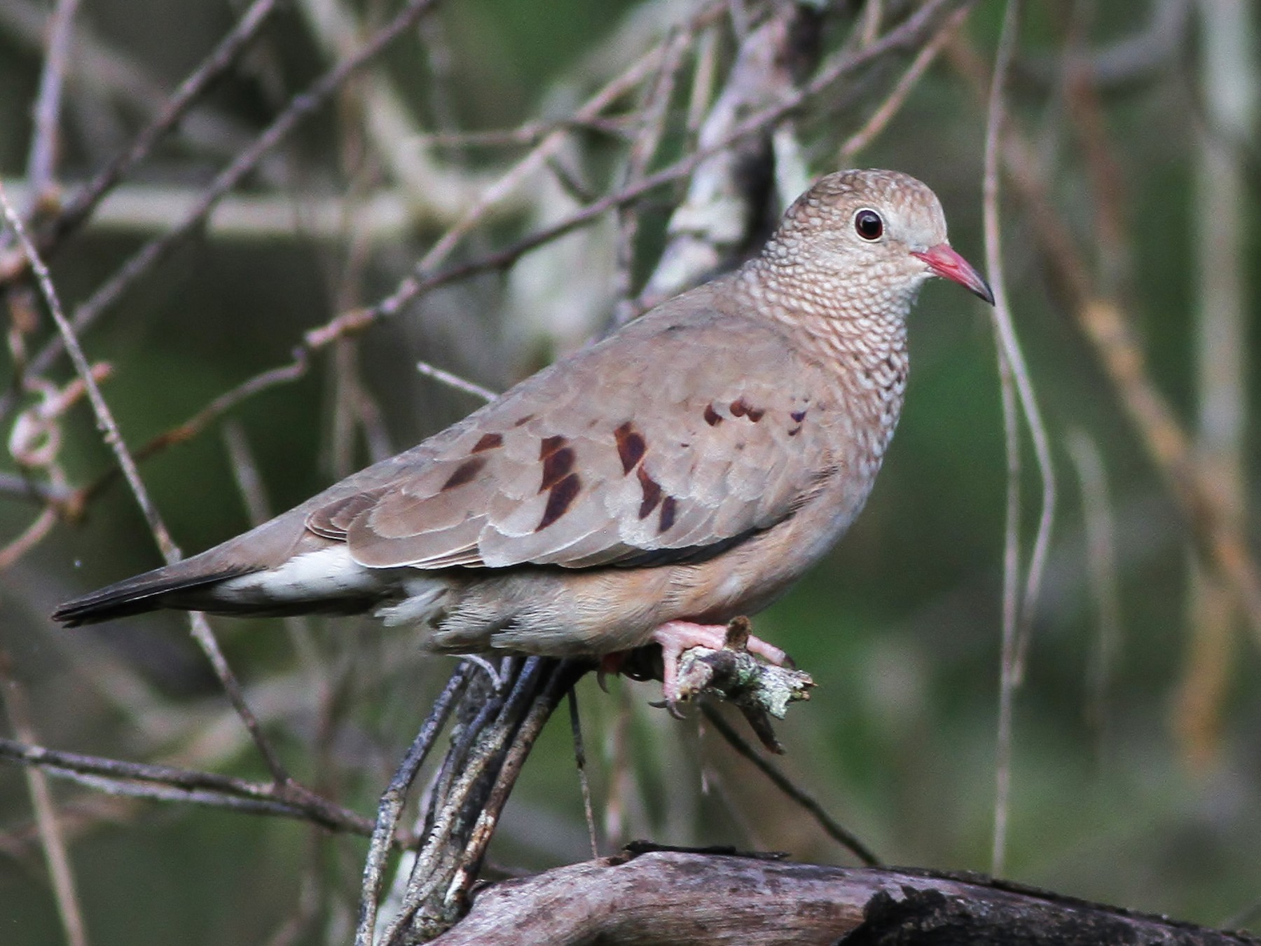 Common Ground Dove - Alex Lamoreaux